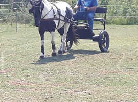 14.2 hh Trotter x cob Driving Mare  6 y/o