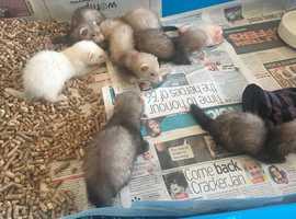 Ferret Kits for sale swansea area