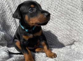 Beautiful Doberman  puppies