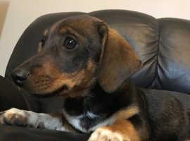 Jessica (Jess) miniature dachshund x jack russel