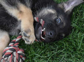 Black & Tan straight back German shepherd puppies *** 2 MALES REMAINING***