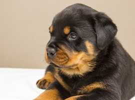 *Wanted* Rottweiler Pup £1,000
