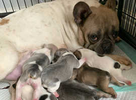 Frenchie babies ready MAY off Health Tested parents
