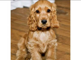 WANTED a cocker spaniel or smaller pup