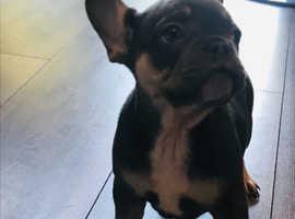 Lialic and tan french bulldog puppies