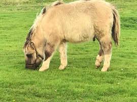 Dun and white standard Shetland colt foal