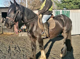 Very kind shire cross cob mare
