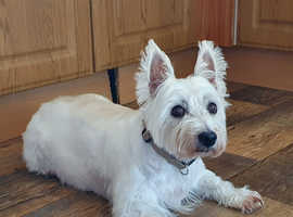 11yr Old Westie to re-home
