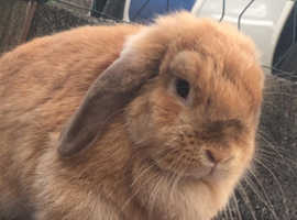 Mini lop doe looking for her forever home