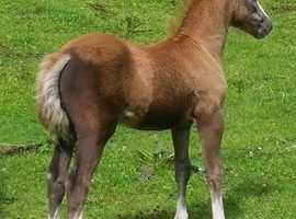 Welsh sec A 2  year old