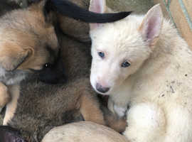 White German Shepard Mali 9weeks ready for new home last boy in pure white