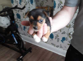 Jack Russell/ Yorkshire terrier pups for sale