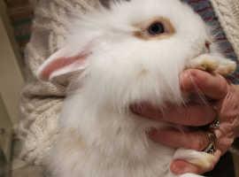 Baby Lionhead bunnies
