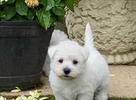 Stunning west highland terrier puppies