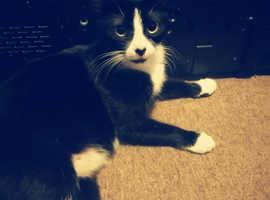 Tuxedo girl cat