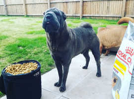AMAZING  SHAR PEI  READY FOR STUD!!!