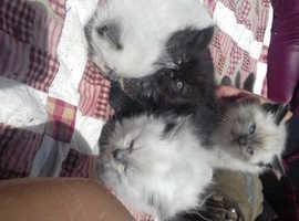 6 x kittens