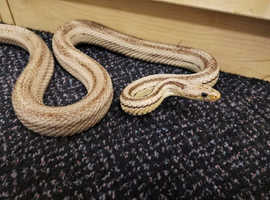 Gentle and beautiful adult corn snake suitable for beginners & breeders