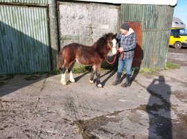 Welsh Sec C x Gypsy cob foal gelding