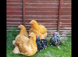 5 POL Chickens including coop