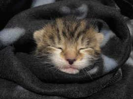 3 Kittens - ready Nov 2021