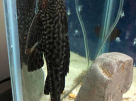 Happily rehome a pleco
