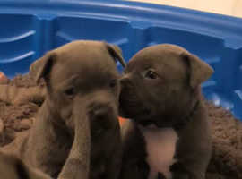 Beautiful staff pups full kc reg