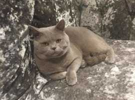 British Shorthair Lilac Stud