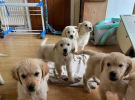 KC Registred Health Tested Golden Retrievers Puppies
