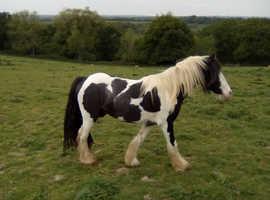 3:yo piebaled gelding