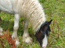 Yearling coloured cob loads feather