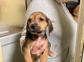 Beagle harrier pups great litter