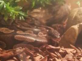 8 month old cinnamon ball python