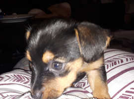 JORKIES! (Yorkie russell) 3 fabulous puppies READY  Now