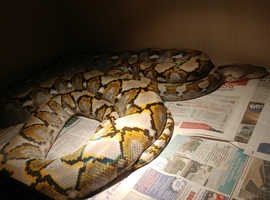 Python Reticulated proven female