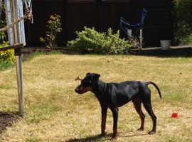 Beautiful KC Registered Manchester Terrier