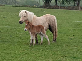 Pedigree miniature palomino Shetland with foal at foot