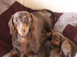 K.C Registered Miniature Dachshund Puppies