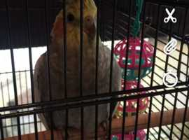 Female cockatiel