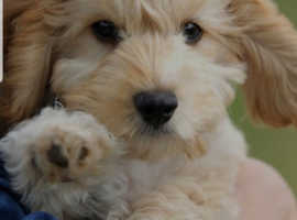 Looking for a cockapoo puppy