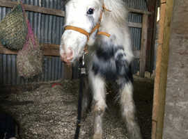 Dottie! Blue and white cob filly to make 13.2!