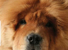 Looking for red rough coat chow pup