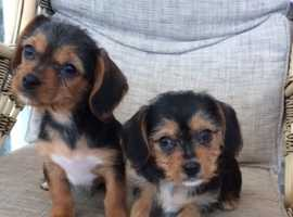 yorkshire terrier xs cavalier king charles
