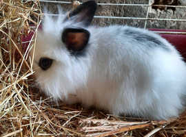 ****SNOWBALL****    Double maned lionhead baby rabbit