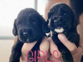 Cocker spaniel puppy's ** 3 left **