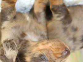 KC Miniature Dachshund Long coat Puppies