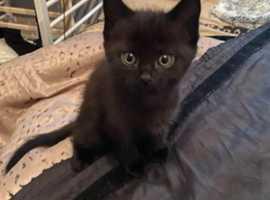1 fully black kitten left for Sale