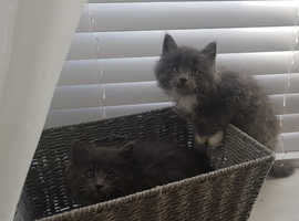 Stunning Grey/Blue Very Fluffy MaineCoon X Kittens