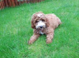 PRA Clear Red F1 Cockapoo Girl Ready Now