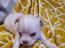 Stunning Pedigree Chihuahua Puppies